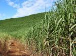 Mauritius a pole s cukrovou třtinou